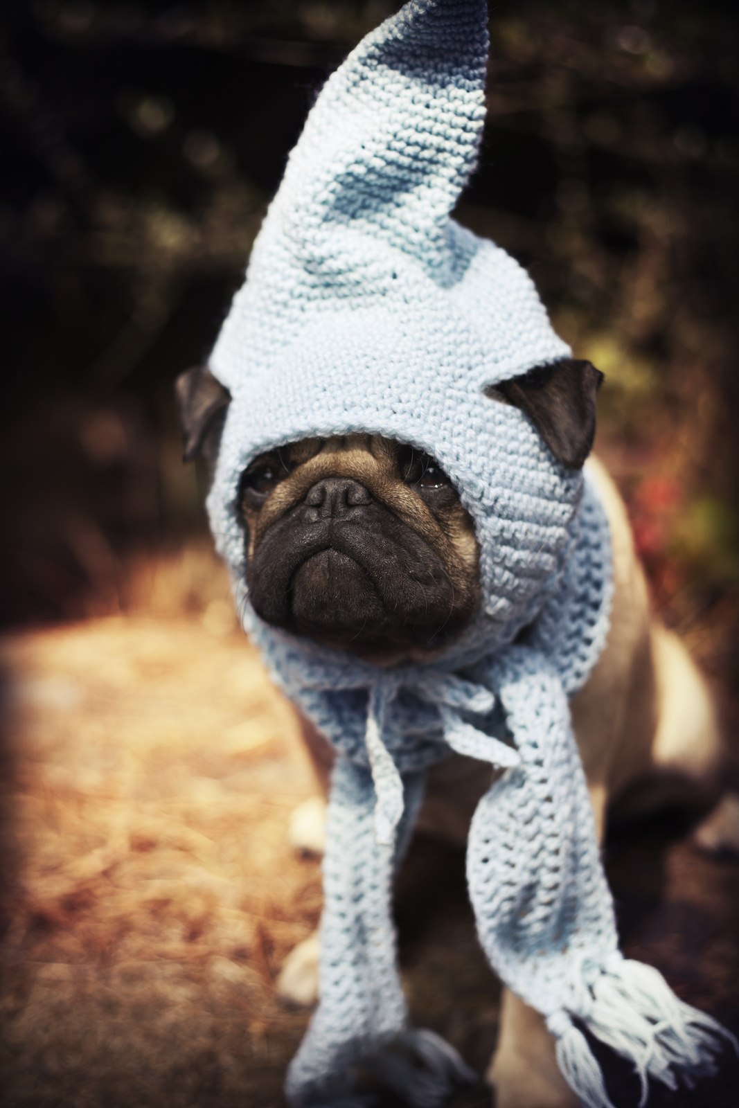 pug puppy with a blue scarf and gnome hat